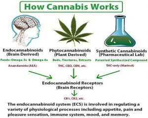 how-cannabinoids-work